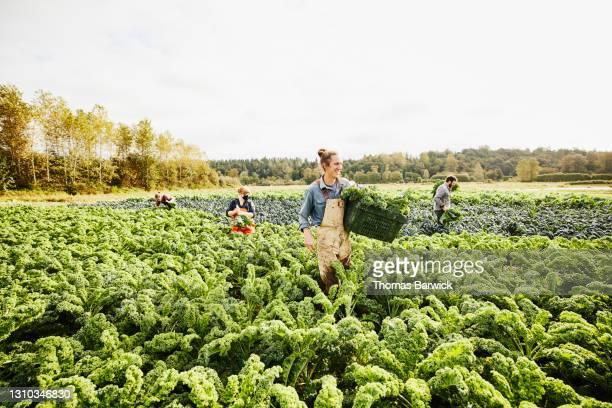 wide shot of smiling farmer carrying bin of freshly harvested organic curly kale through field on fall morning - business finance and industry bildbanksfoton och bilder