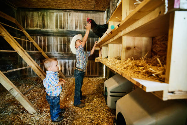 Wide shot of young brothers gathering eggs in chicken coop on farm
