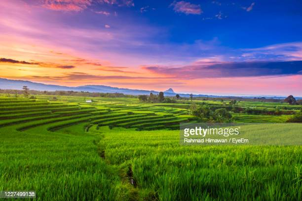 wide view of rice fields in north bengkulu when green rice and morning sky - rahmad himawan stock pictures, royalty-free photos & images