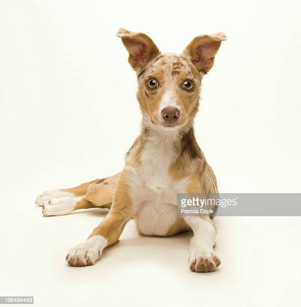 wide-eyed puppy paying attention - mixed breed dog stock pictures, royalty-free photos & images