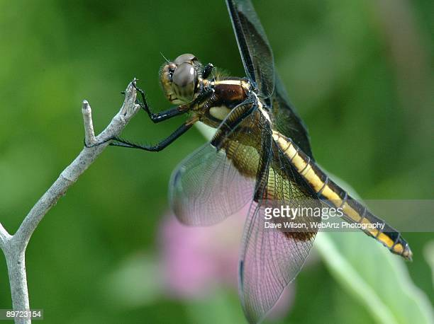 widow skimmer dragonfly - dave wilson webartz stock pictures, royalty-free photos & images
