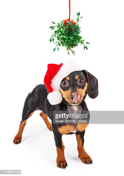 wiener dog kiss under mistletoe - under tongue stock pictures, royalty-free photos & images