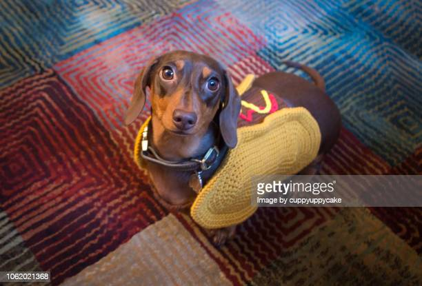 wiener dog sweater - dachshund holiday stock pictures, royalty-free photos & images