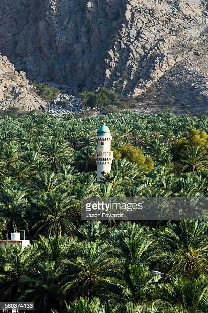 The minaret of a mosque rises above a plantation of date palm trees.
