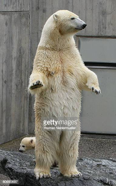 Wilbear the fourmonth old polar bear cub is seen playing with his mother Corinna during the first day of his public appearance at the Wilhemina on...