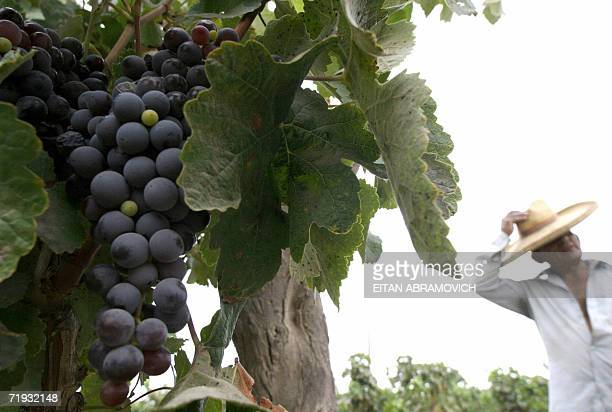 Wilberto Aparcana straightens his hat in his vineyard in Ocucaje some 400 km south of Lima 08 March 2006 Aparcana sells his grapes to Claudio Soldi a...