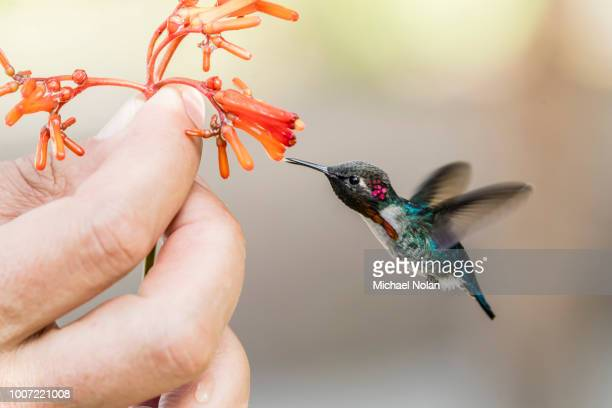 a wild adult male bee hummingbird (mellisuga helenae), attracted to hand-held flower near playa larga, cuba, west indies, caribbean, central america - colibri photos et images de collection