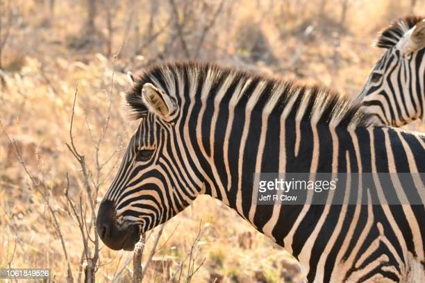 wild adult zebra in south africa - animated zebra stock pictures, royalty-free photos & images