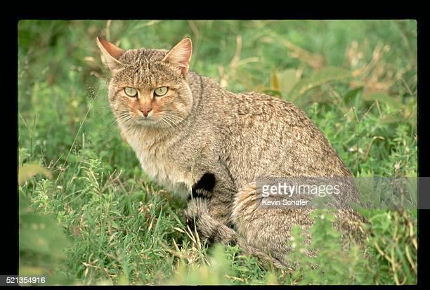 wild african cat - asiatische wildkatze stock-fotos und bilder