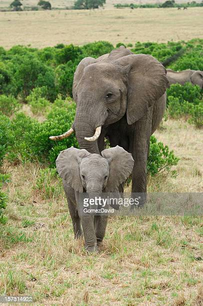wild african elephant mother and baby feasting on small trees - baby elephant stock photos and pictures