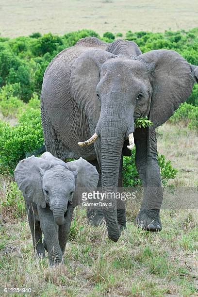 Wild African Elephant Mother and Baby Feasting on Small Trees