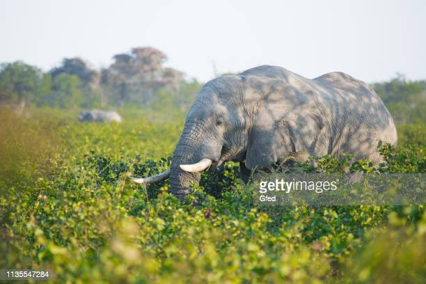 wild african elephant - moremi wildlife reserve stock photos and pictures
