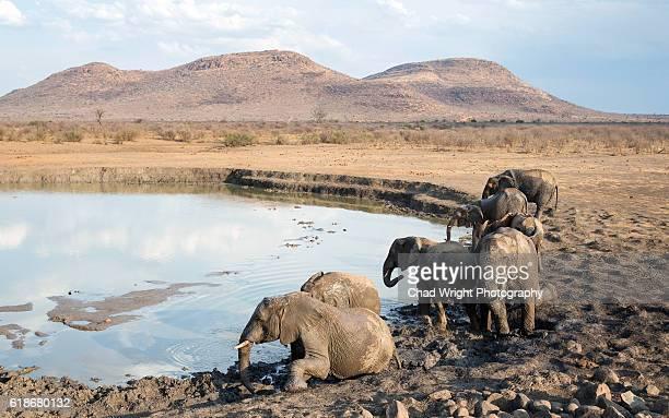 Wild African elephants having a fun mudbath in a lake