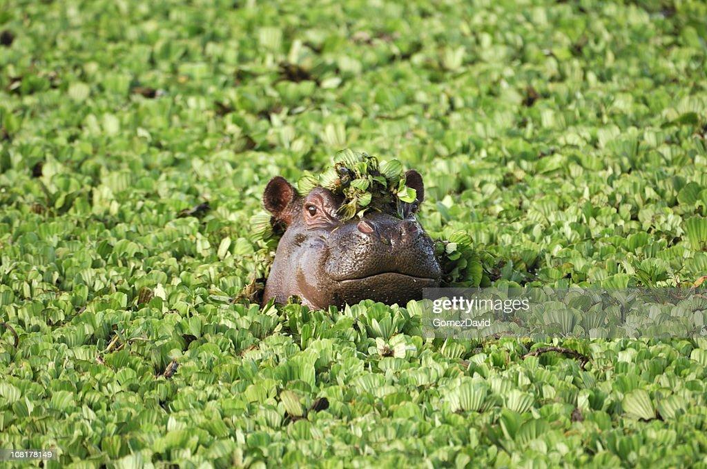 Selvagem africana Hipona com cabeça sobre água Flutuante Alface : Foto de stock