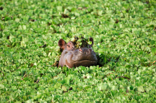 Wild African Hippo with Head Above Floating Water Lettuce 108178149