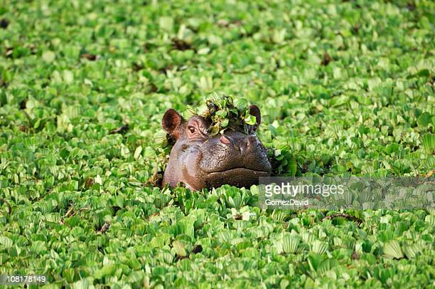 wild african hippo with head above floating water lettuce - animals in the wild stock pictures, royalty-free photos & images