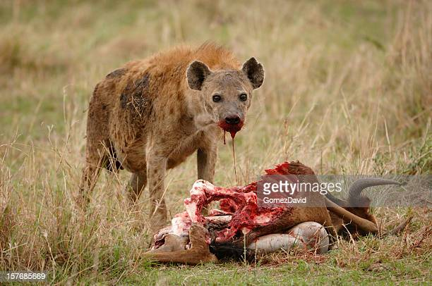 wild african hyaena and wildlife kill - hyena stock pictures, royalty-free photos & images