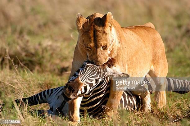 africano salvaje leona y cebra de matar - leones cazando fotografías e imágenes de stock