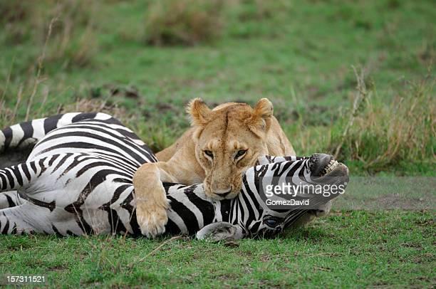 Wild African Lioness Holding Down a Just Captured Wild Zebra