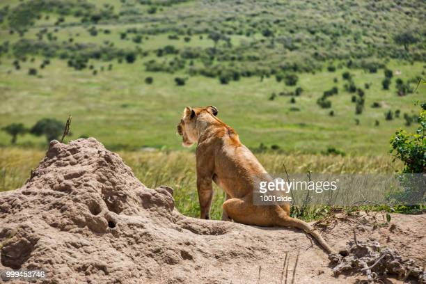 leonas africanas salvajes mirando para la caza en la parte superior de la roca - leones cazando fotografías e imágenes de stock