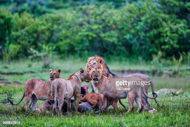 wild african lions eating a freshly killed buffalo - lion attack stock pictures, royalty-free photos & images