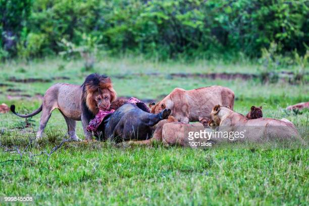 wild african lions eating a freshly killed buffalo - cat skeleton stock photos and pictures