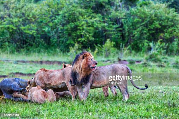 Wild African Lions eating a freshly killed Buffalo