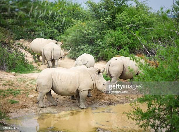 Wild African White Rhino.
