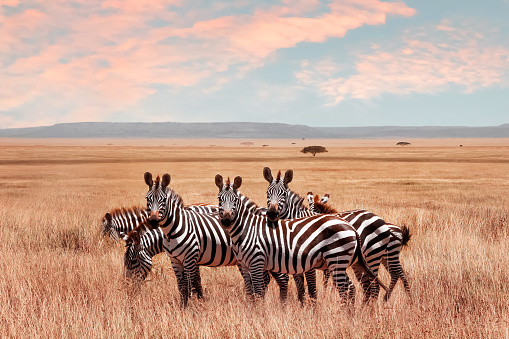 Wild African zebras in the Serengeti National Park. Wild life of Africa. 1046958338