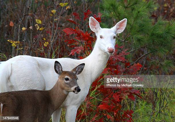 Wild Albino whitetail  deer