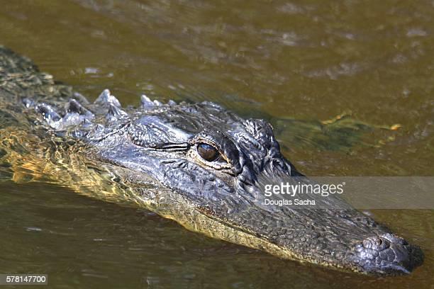 Wild Alligator at the Everglades National Park,  (Alligator mississippiensis)