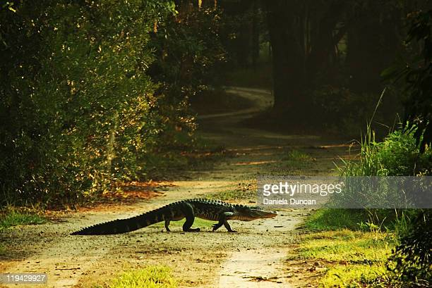 Wild alligator crossing