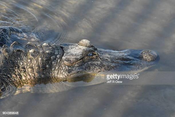 Wild Alligator in South Texas 3