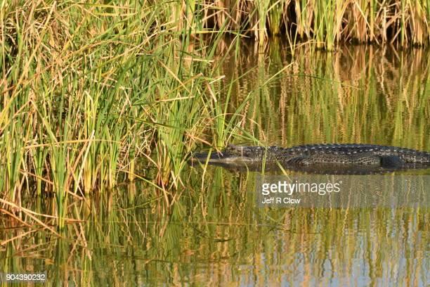 Wild Alligator in South Texas 5