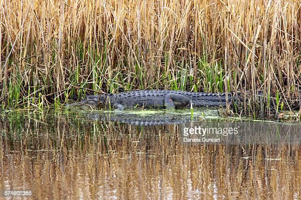 Wild alligator in the marsh