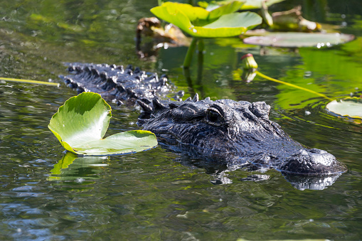 Wild Alligator on the Anhinga Trail in Everglades National Park 1134565453