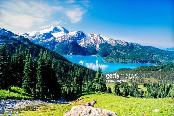 Wild Alpine Marmot overlooking Turquoise Garibaldi Lake near Whistler, Canada