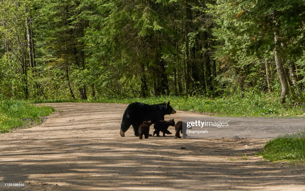 Wild American Black Bear Mother and Cubs in the Dense Forest of Northern Minnesota USA : Stock Photo