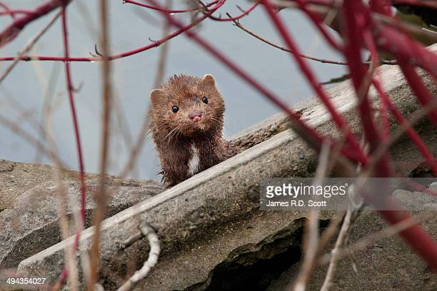 wild american mink - mink animal stock pictures, royalty-free photos & images