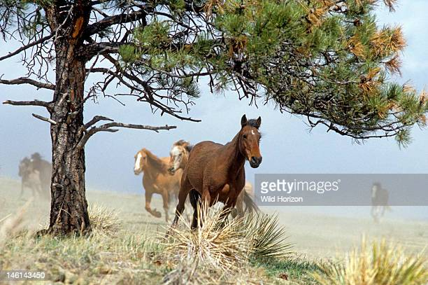 Wild American mustangs running Equus caballus Institute of the Range and the American Mustang Wild Horse Sanctuary Black Hills Meade County South...