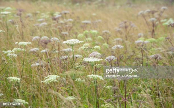 wild angelica (angleica sylvestris) in late summer grassland - meadow stock pictures, royalty-free photos & images