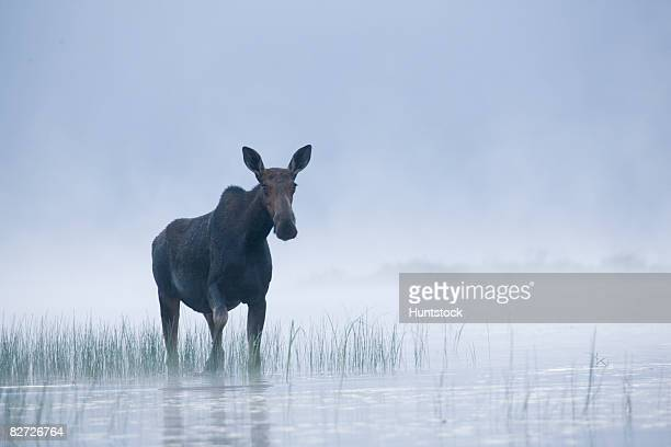 wild animal - lake solitude (new hampshire) stock photos and pictures