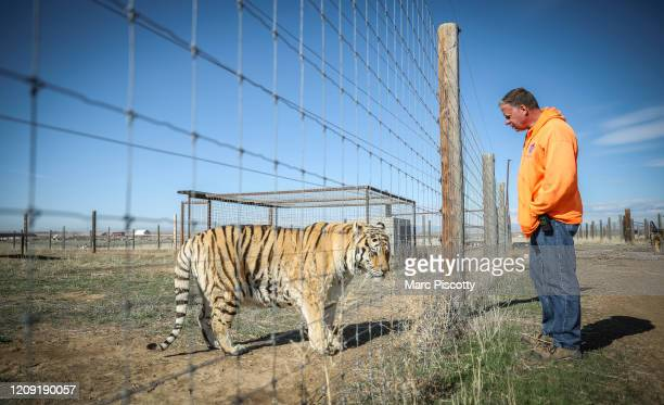 Wild Animal Sanctuary employee Kent Drotar checks in on one of the 39 tigers rescued in 2017 from Joe Exotic's GW Exotic Animal Park at the Wild...
