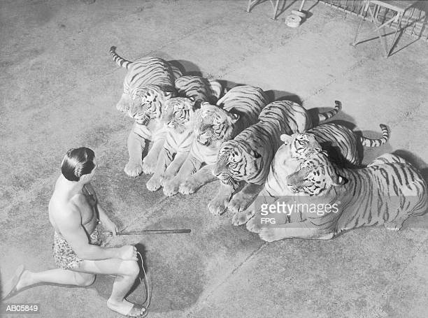 wild animal tamer kneeling in front of row of tigers (b&w) - animal tamer stock photos and pictures