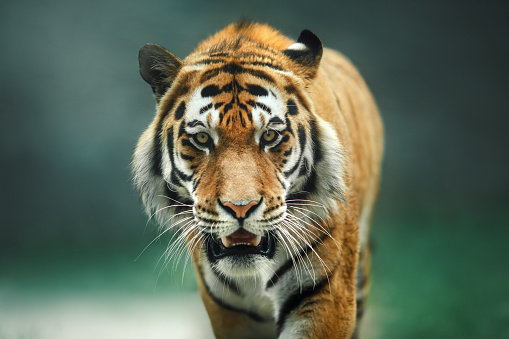 Wild animal Tiger portrait 590135082