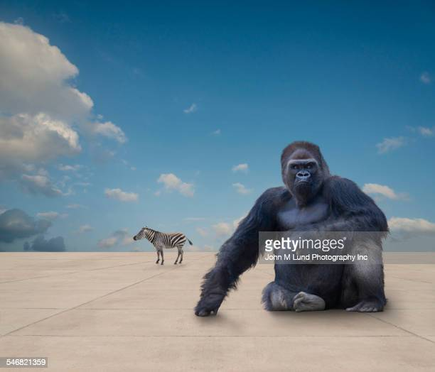 wild animals on flat concrete ground under blue sky - gorilla stock pictures, royalty-free photos & images