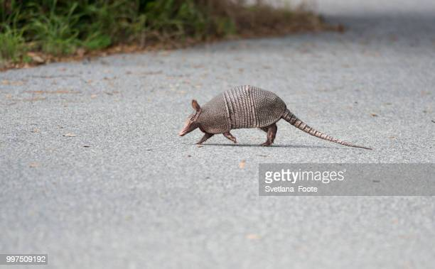 wild armadillo crossing a road - armadillo stock pictures, royalty-free photos & images
