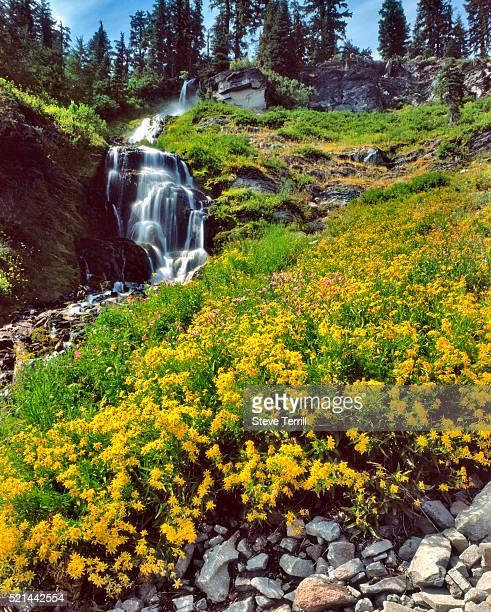 Wild arnica flowers below Vidae Falls