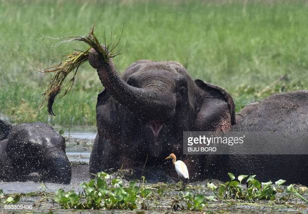 A wild Asiatic elephant eats water hyacinth in a wetlands area near Thakurkuchi on the outskirts of Guwahati in Indias northeastern state of Assam on...