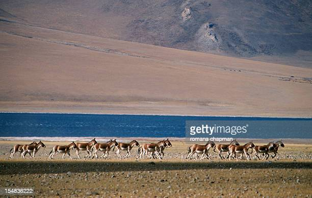 Wild ass herd running beside lake
